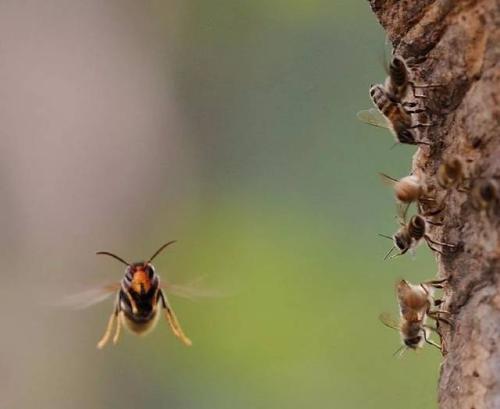 被中国大虎头蜂蛰了要用什么药治疗(被虎头蜂蛰了什么药抹什么药有用)