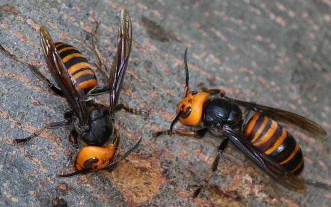 家里有中国大虎头蜂象征什么(虎头蜂做窝的风水怎么样?)