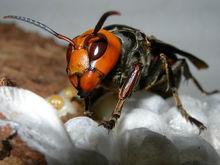 虎头蜂飞到家里来好不好(马蜂来家里是福还是祸?)