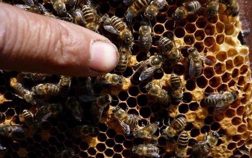 中蜂自然分蜂后多长时间又会分蜂(蜜蜂分蜂后大约间隔多久会再次分蜂)