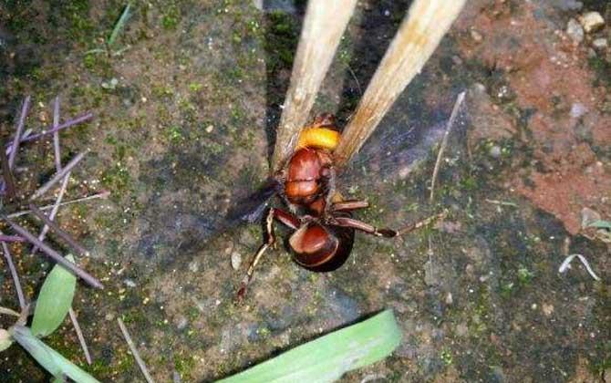 土甲蜂有多大(土甲蜂的体型尺寸)