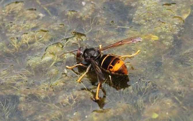中国大虎头蜂种类(虎头蜂的种类介绍)