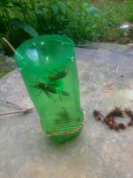 中国大虎头蜂怎么诱捕(捕捉虎头蜂的步骤)