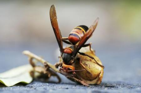 中国大虎头蜂和夜蜂谁更强(虎头蜂和夜蜂谁的毒性更强)