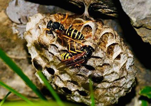 黄腰虎头蜂有多长(黄腰虎头蜂的体型)