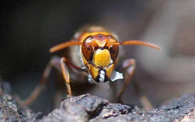 黄腰虎头蜂蜂蛹哪个季节最多(黄腰虎头蜂蛹几月份最多)