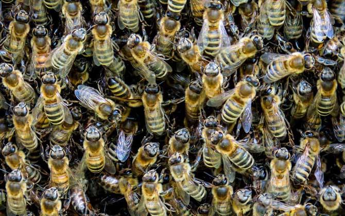 意大利蜜蜂养殖双王技术(意蜂怎样组织双王群?)