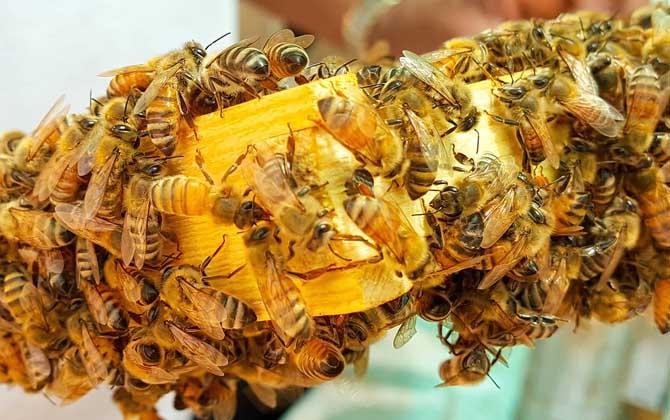养殖意大利蜜蜂要注意什么(意蜂养殖技术要点及注意事项)