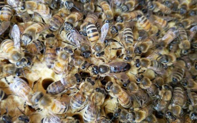哪里有意大利蜜蜂出售(意大利蜂在哪里购买?)