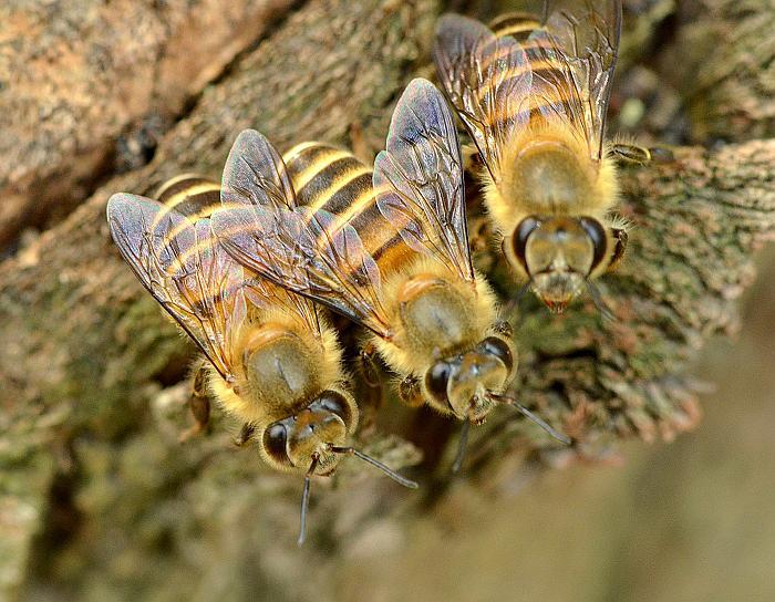 意大利和中华蜜蜂能混养吗(中华蜜蜂和意大利蜂能在一起养吗)