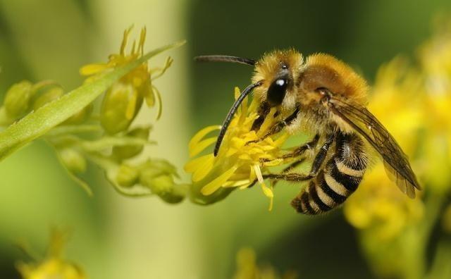 意大利蜜蜂与中华蜜蜂能杂交吗(人工授精中蜂意蜂能够杂交吗?)