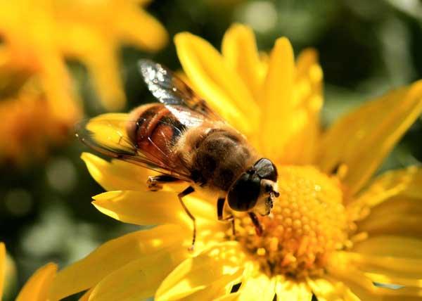 中华蜜蜂蜂王和意大利蜂王的区别(中蜂蜂王与意蜂蜂王怎么分辨?)