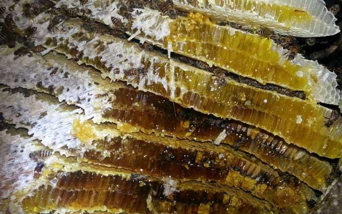 意大利蜂与中华蜜蜂的蜂蜜区别(意大利蜂和中华蜜蜂那种蜂蜜好)