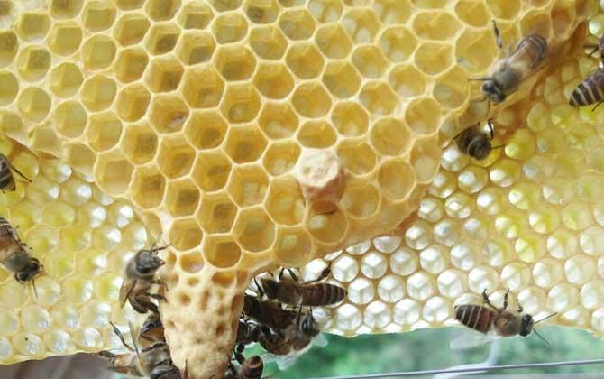意大利蜂盗中华蜜蜂的蜜怎么处理(中蜂被意蜂盗蜜的紧急处理)