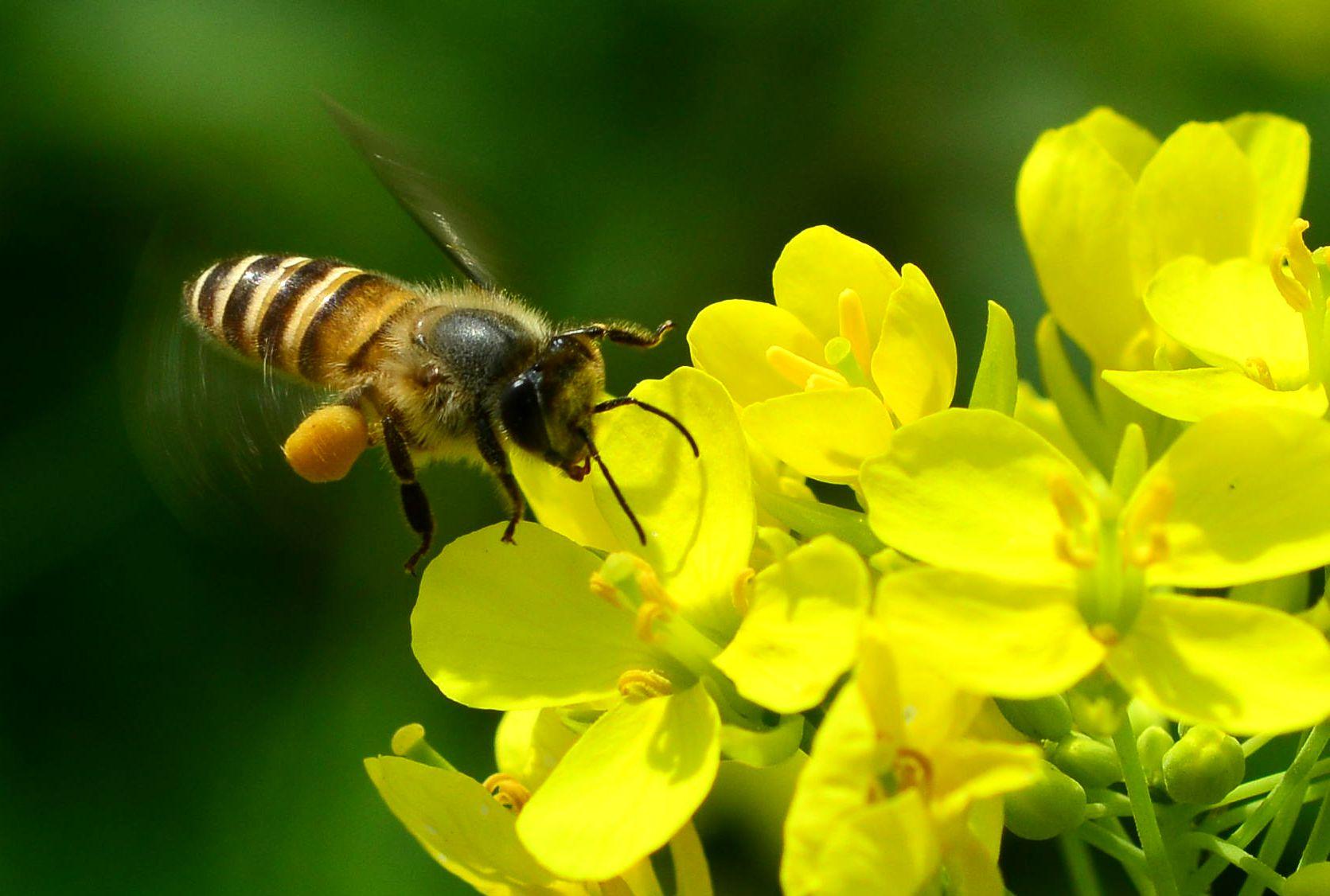 中华蜜蜂和意大利蜜蜂各有什么特点(中华蜜蜂和意大利蜜蜂的特点)