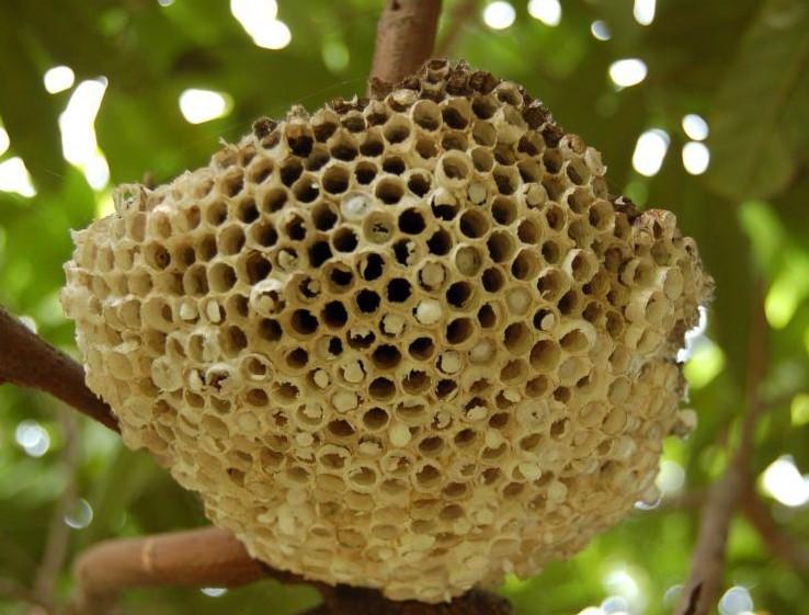 意大利蜂跟中华蜜蜂哪不一样(中华蜜蜂和意大利蜜蜂外观上的差异)