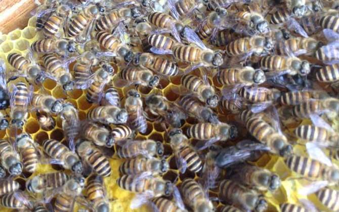 如何分辨中华蜜蜂和意大利蜂(中蜂和意蜂的区别)