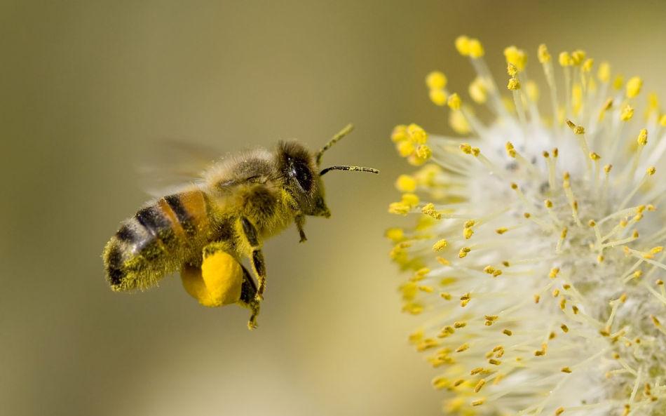 中华蜜蜂和意大利蜂能合并么(中蜂和意蜂能不能合并成一群?)