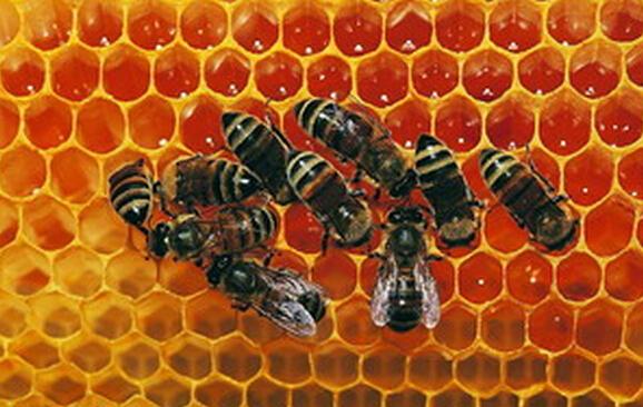 意大利蜂对中华蜜蜂的危害(意大利蜂为什么可以危害中华蜜蜂?)