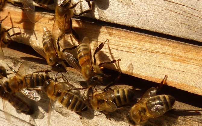 如何从形态上识别中华蜜蜂与意大利蜜蜂(中蜂和意蜂在形态上有哪些差异?)