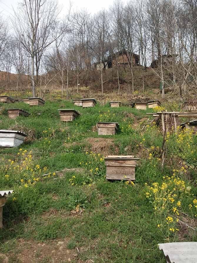 意大利蜜蜂王几天能出来(意蜂蜂王几天出台?)