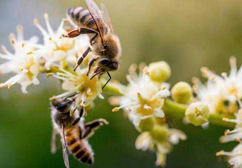 意大利蜜蜂蜂王品种(意大利蜜蜂品种有哪些)