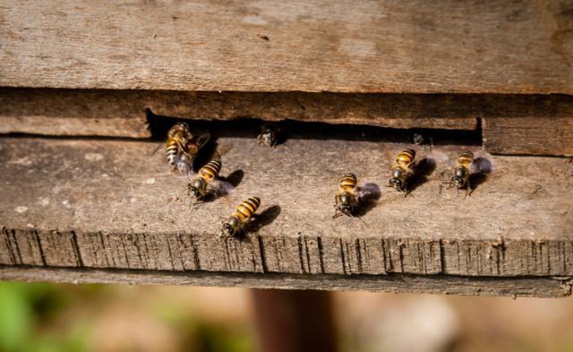 意大利蜜蜂蜂王繁殖周期(意大利蜜蜂蜂王自然分蜂分多少)