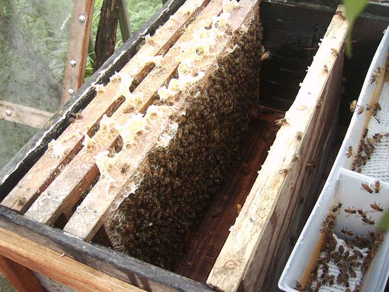 意大利蜜蜂加脾为什么蜂王不上去(蜂王没产卵的原因 )