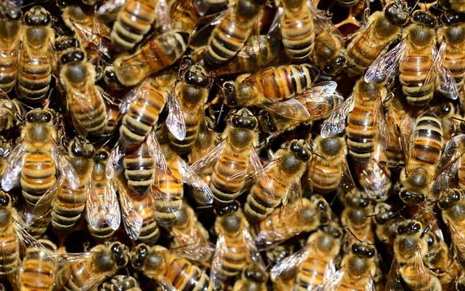 意大利蜜蜂多少钱一脾(意大利蜜蜂多少钱一箱?)