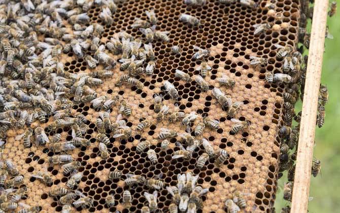 意大利蜜蜂怎么快速繁殖(意蜂一脾速繁法及注意事项)
