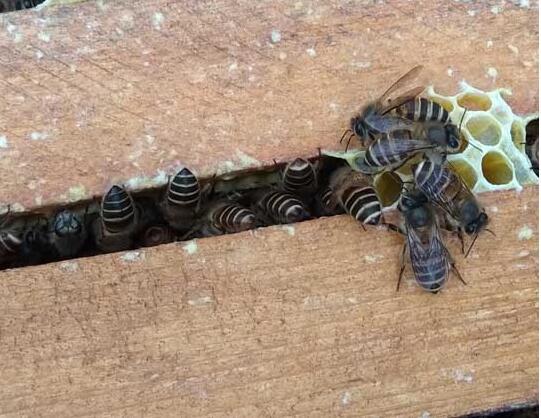 新养意大利蜜蜂过冬喂什么(越冬饲料意蜂怎么喂法)