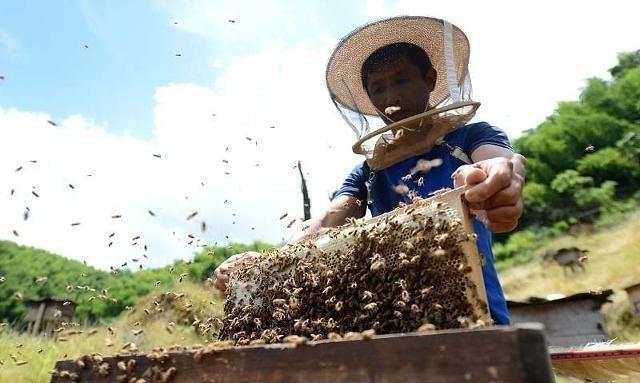 意大利蜜蜂蜂蜡能诱中蜂吗(意蜂蜡可以用来诱捕中蜂吗)
