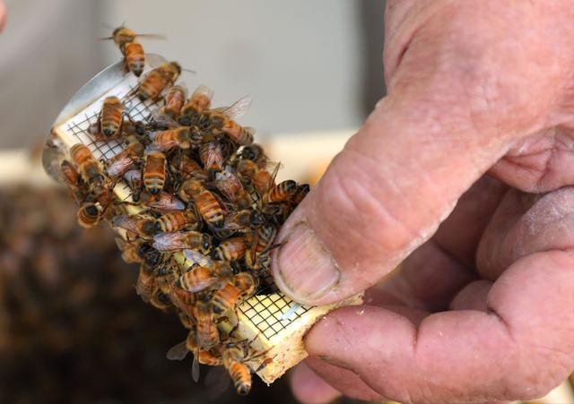 中华蜂蜜好还是意大利蜂蜜好(中华蜜蜂和蜂蜜对比)