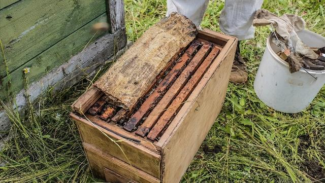 中华蜜蜂和意大利蜜蜂的优缺点(中华蜜蜂和意大利蜜蜂的对比)