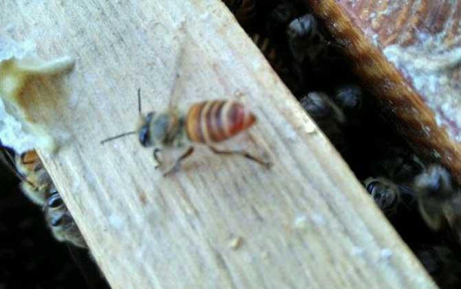 意大利蜜蜂养殖利润(养蜂收益是多少?)