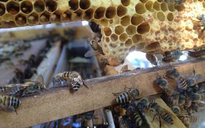 意大利蜜蜂王台尺寸(意蜂额收益)