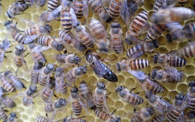 养意大利蜜蜂双王群能有几个蜂王(一群蜜蜂里最多有多少只蜂王?)