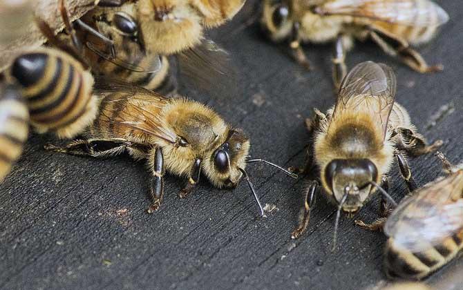 意大利蜜蜂加浅继箱技术指导(意大利蜜蜂继箱的注意事项)