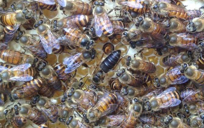 养一箱意大利蜜蜂一年能赚多少钱(养意蜂效益分析)