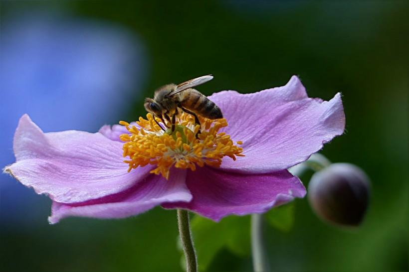 中华蜜蜂和意大利蜜蜂打架怎么办(如何让中蜂与意蜂在一起饲养不打架?)