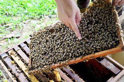 意大利中华蜜蜂哪个好(意蜂和中蜂的特性)
