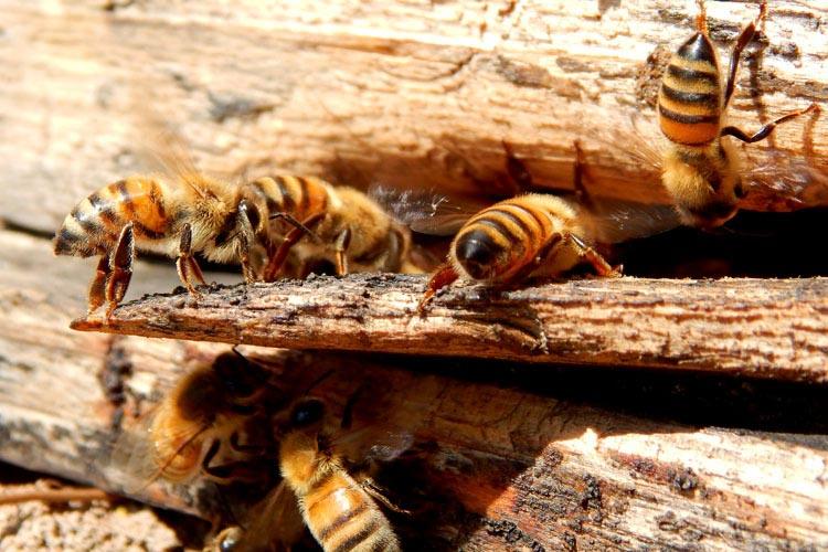 意大利蜜蜂能盗中华蜜蜂的蜂蜜吗(如何防止意蜂盗中蜂)