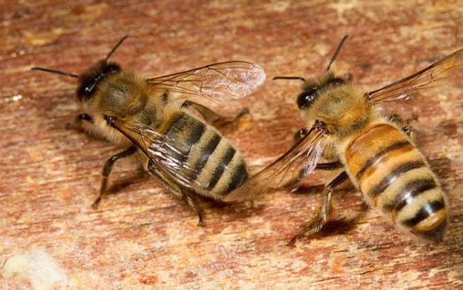 中华蜜蜂跟意大利蜂的散蜂区别(意蜂和中蜂的主要区别)