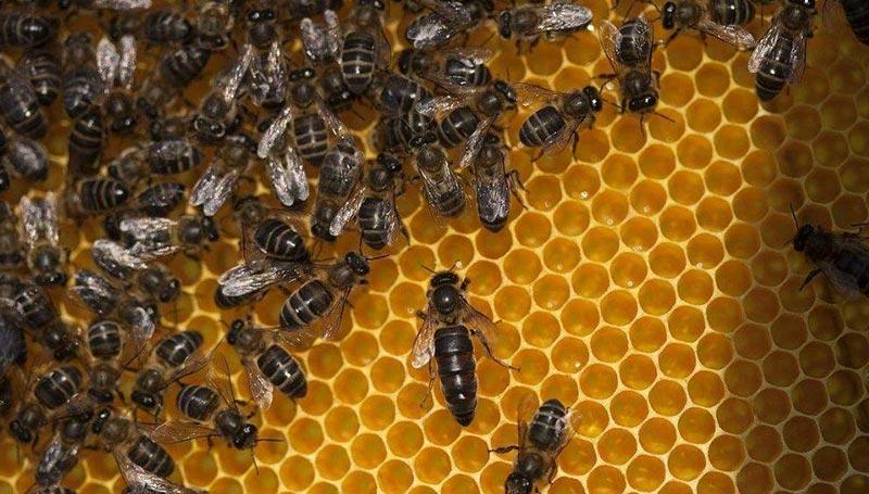 意大利蜂会攻击中华蜜蜂蜂王吗(意蜂和中蜂哪个厉害)