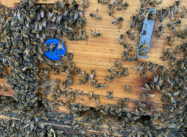 是中华蜜蜂体型大还是意大利蜜蜂体型大(什么是意蜂)