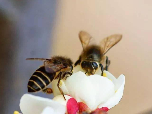 中华蜜蜂与意大利蜜蜂谁能躲避马蜂(意蜂和中蜂谁的战斗力强)
