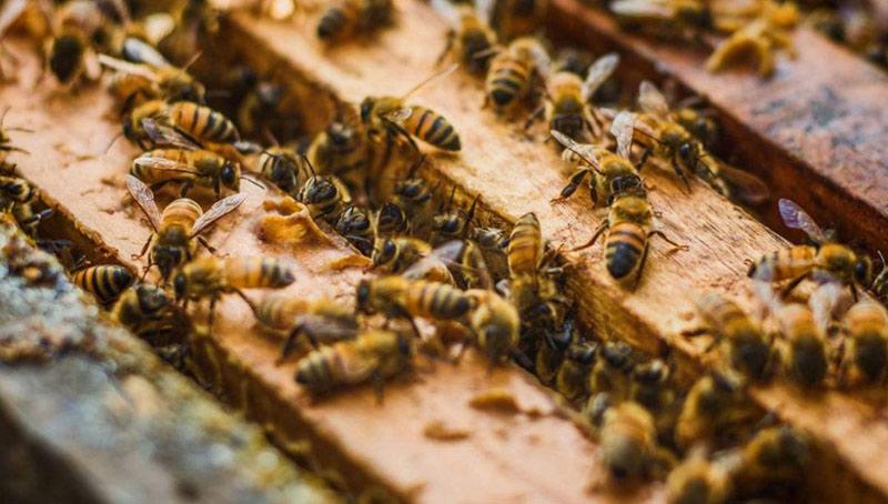 中华蜜蜂和意大利蜂蜜的区别(中蜂和意蜂蜂蜜价格差别大么?)