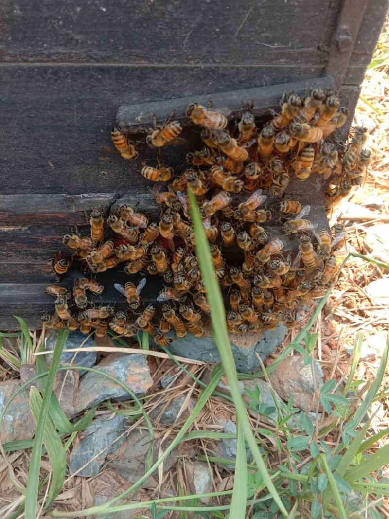 中华蜜蜂和意大利蜂蜜的价格表(中蜂和意蜂不同地区的价格差异)