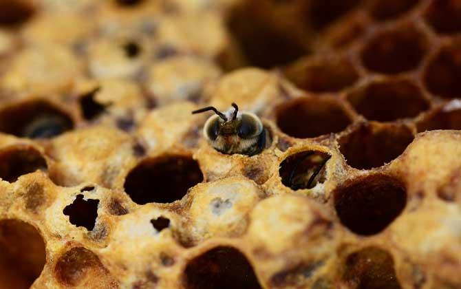 意大利蜜蜂育王需不需要关蜂王(什么情况下育王需要关王?)