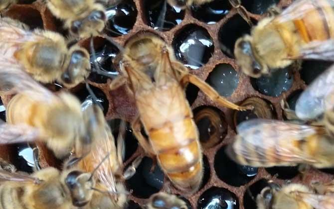 土蜜蜂王可以介意大利蜜蜂吗(意蜂能在土蜂群里生存么?)